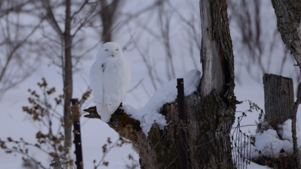 Dan and Patricia Lafortune of Ottawa will be heading out to 'play hide-and-seek' with Hardscrabble, a four-year-old snowy owl, kitted out with an electronic backpack. This photo was taken last winter.