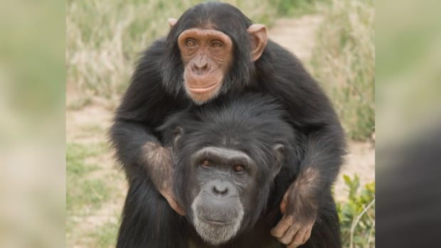 Manno and his foster mom Jane at Sweetwaters Chimpanzee Sanctuary in Kenya.