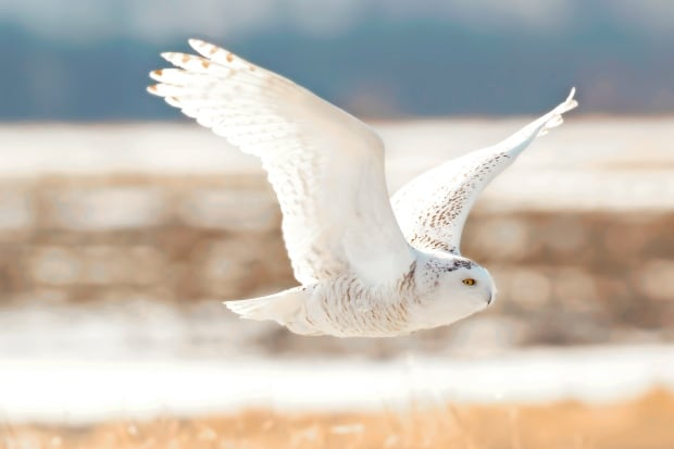 Ramin Izadpanah snowy owl photo 2