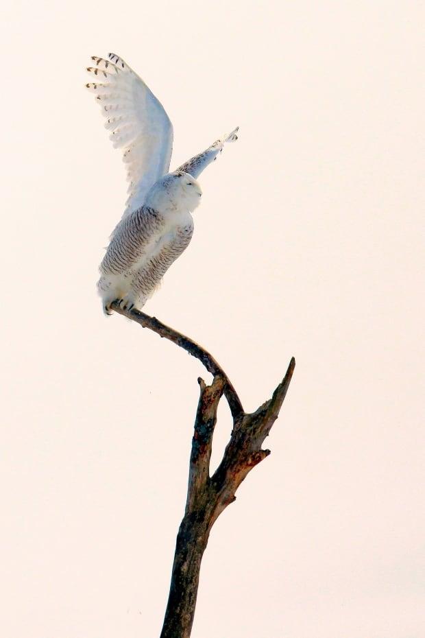 Ramin Izadpanah snowy owl photo 4