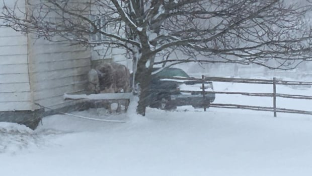 A cow is tethered to a house during Saturday's blizzard in Torbay.