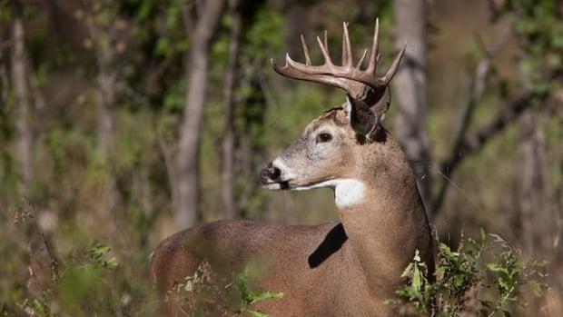 white-tailed-deer.jpg