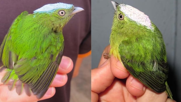Hundreds of thousands of years ago, the opal-crowned manakin and the snow-capped manakin interbred. DNA analysis shows a species called the golden-crowned manakin is descended from them.