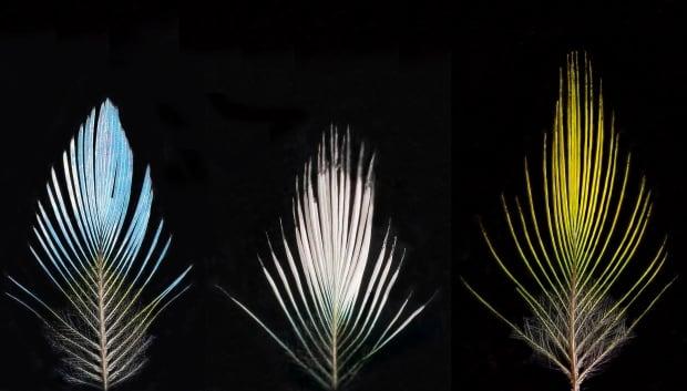 Feathers manakins