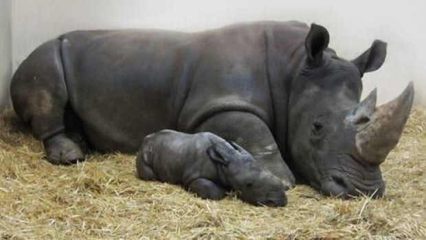 Mother Zohari with her unnamed calf.