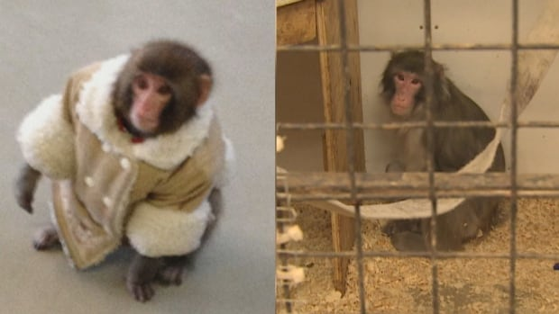 Darwin, the Ikea monkey, is still shy five years after he became a viral sensation.
