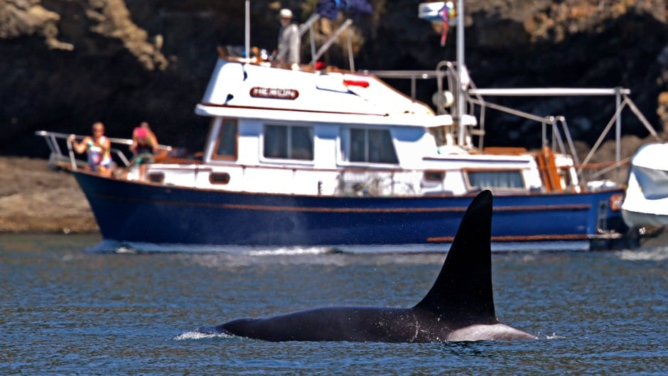 In the U.S. boaters are required to stay clear of killer whales.