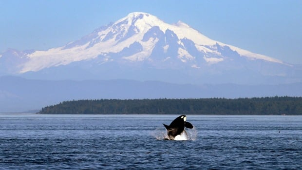 An orca whale breaches in view of Mount Baker, nearly 100 kilometres away, in the San Juan Islands in 2015. Vessel noise in the area can interfere with killer whales' ability to hunt, navigate and communicate with each other, researchers say.