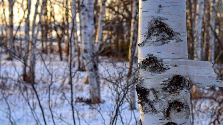 Image result for birch""