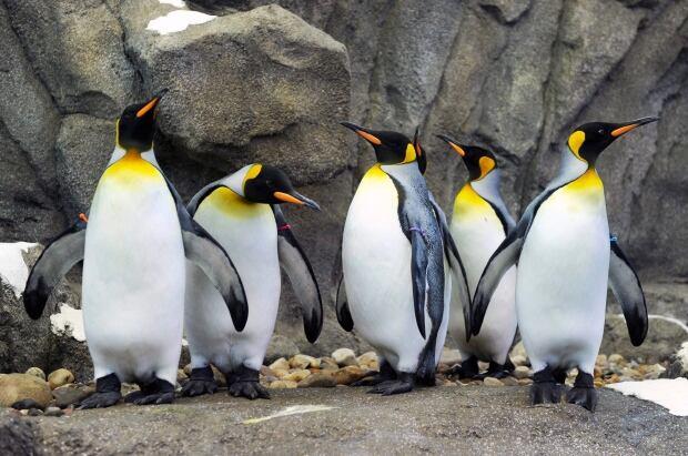 BRITE Penguin Plunge 20120217 TOPIX