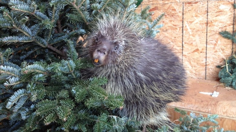 donated christmas trees make new homes and hiding spots for