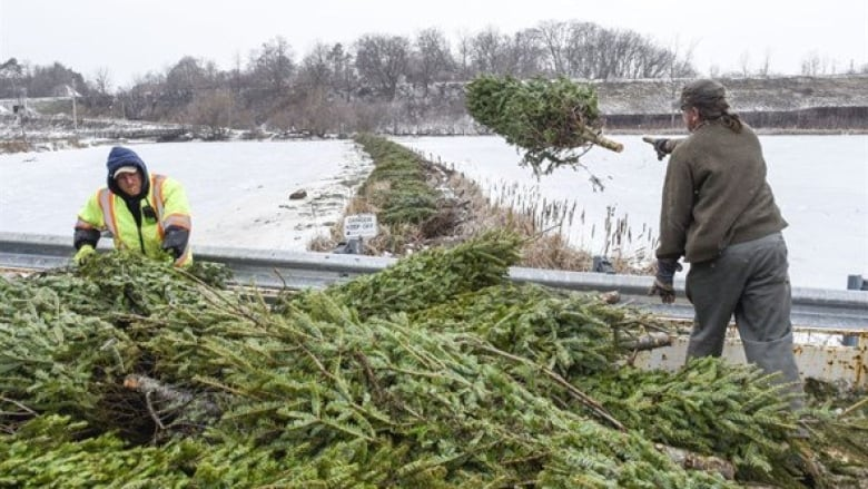 200k Christmas Trees Used To Fight Invasive Carp And The Rbg Needs