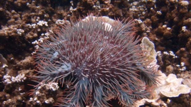 An outbreak of crown of-thorns starfish has been found eating coral in parts of Australia's Great Barrier Reef.