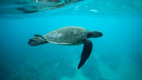 climate change is turning some sea turtle populations 99 female