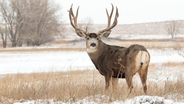 Under changes proposed by the province, hunters will only be allowed one mule deer buck in parts of the Interior.