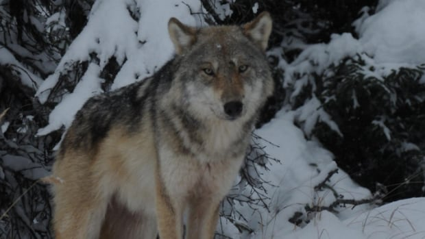 One of the wolves being tracked by the wildlife division in 2016/17.
