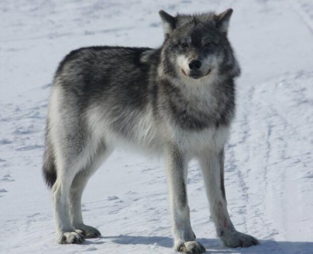 Wolf near Natuashish