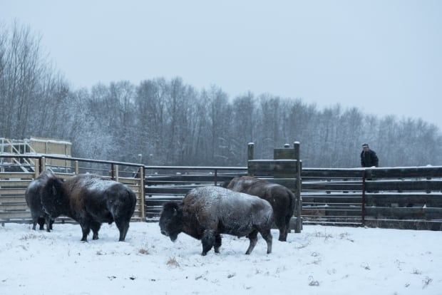 Plains bison handling facility, Elk Island National Park