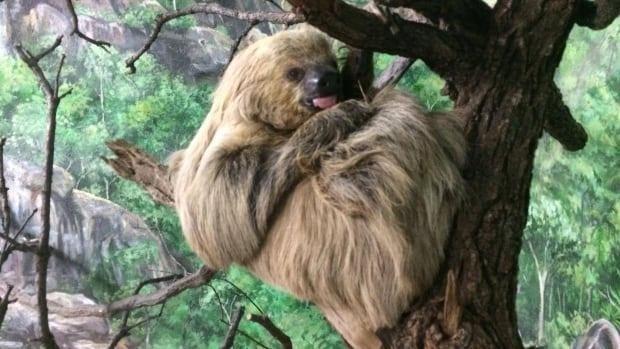 Chewbacca the sloth from Assiniboine Park Zoo has died.