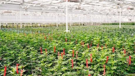 Pot grower Aphria Inc. applies to list on New York Stock Exchange