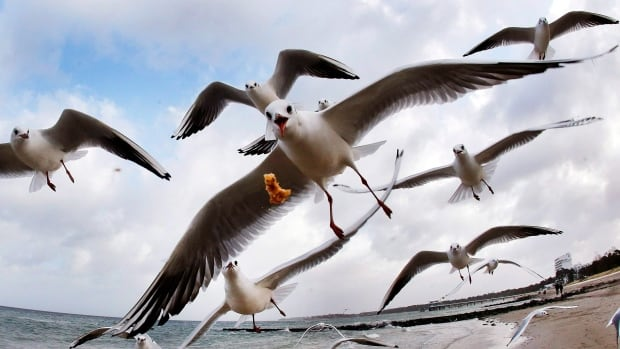 A new study has found that seagulls aren't just eating plastic but plenty of potentially harmful things.