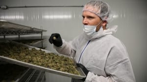 What's in your weed: Why cannabis strains don't all live up to their billing