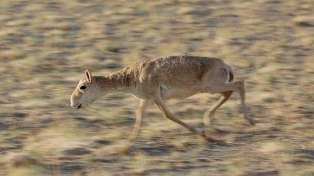 Mongolia Threatened Antelope