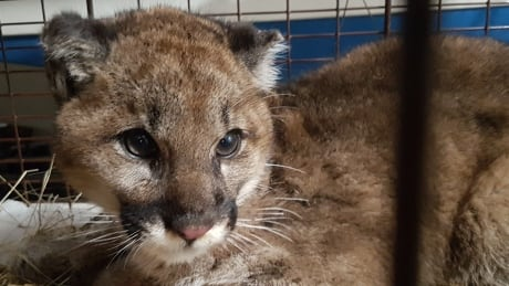 Orphaned baby cougar finds temporary home in conservation officer's garage