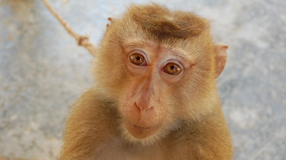A northern pig-tailed macaque.