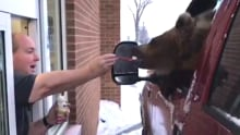 Bear eating ice cream at Innisfail Dairy Queen
