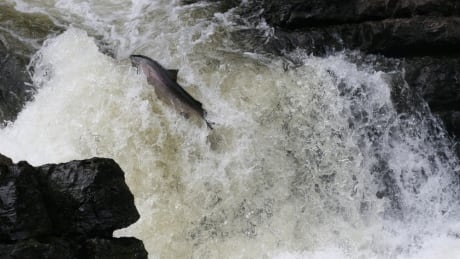 The report says salmon smolt survival in the Miramichi estuary is estimated to have fallen two-fold