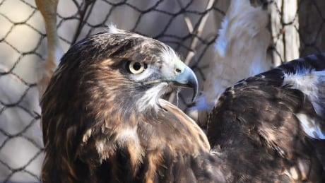 Hawks, owls killed in fire at Edmonton area bird rescue thumbnail