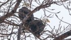 Bald Eagles, Windsor