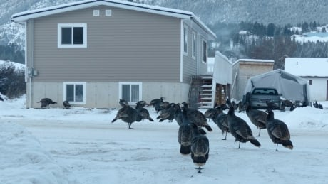 Talkin' turkey: Kootenay town calls for crackdown on feeding troublesome birds