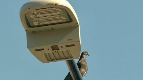 Light w pigeon