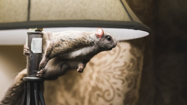 Flying Squirrel Dives Into Photographeru0027s Home | CBC News
