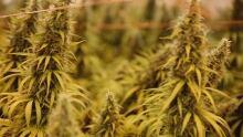 weed close up.jpg