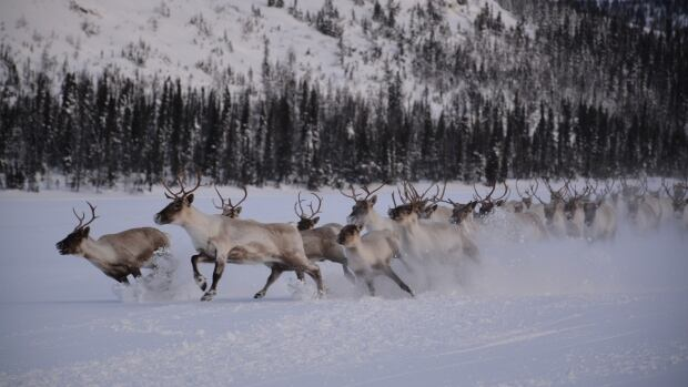 George River Caribou run outside Nain late last year.
