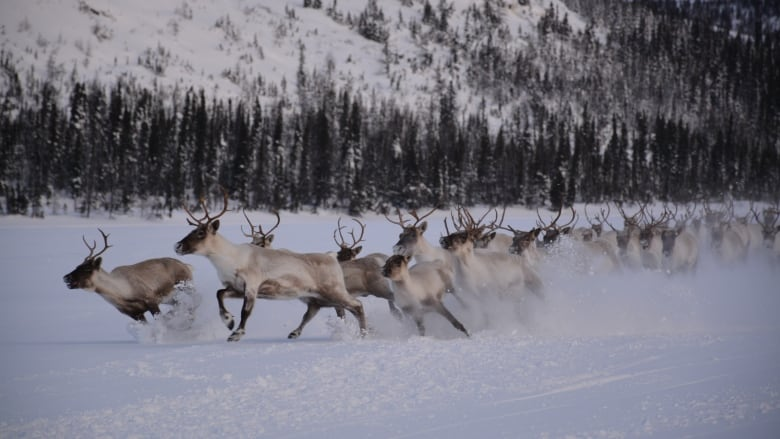 George River Caribou Run Outside Nain Late Last Year Submitted By Brandon Pardy