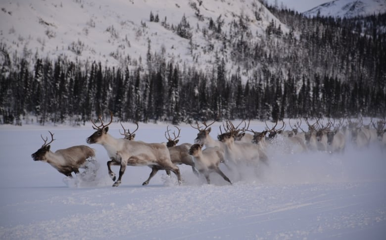 how much has this caribou herd dropped since 2001 99 per cent cbc