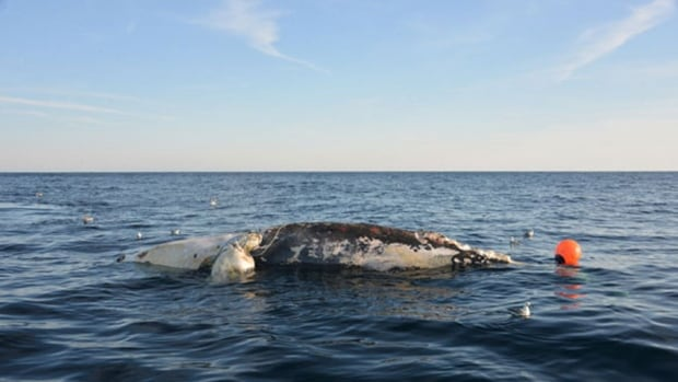 A dead North Atlantic right whale, spotted off the coast of Virginia on Jan. 22, 2018.