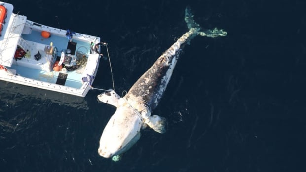 dead North Atlantic right whale, spotted off coast of Virigina