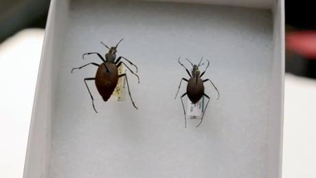 shrinking beetles b.c.