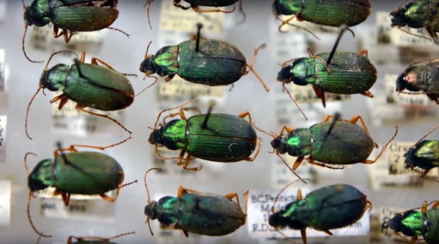 shrinking beetles ubc
