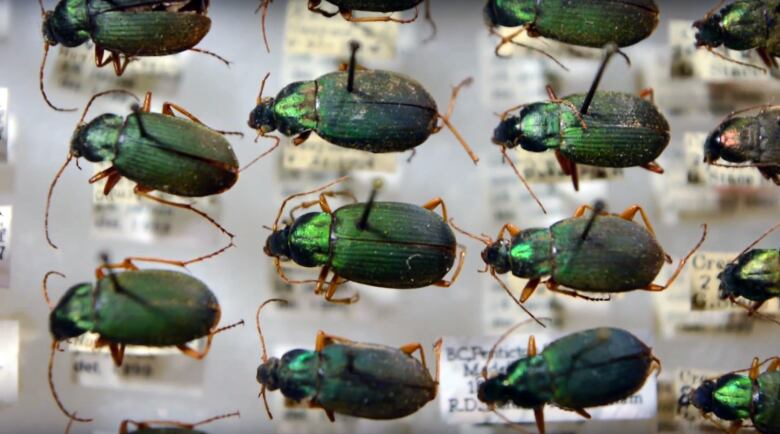 B C  beetles are shrinking as habitat warms up, study finds