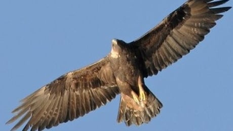 Bird watchers in B.C.'s north asked to help track golden eagle migration