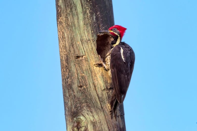 Brains of woodpeckers contain protein found in humans with