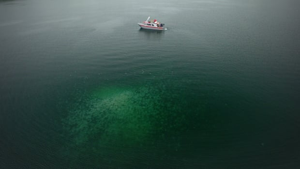 A jellyfish bloom in Pruth Bay, B.C., as seen from a drone cam. Researchers at the University of British Columbia have enlisted the drones to track clusters like these, as well as their behaviours and populations in greater detail.