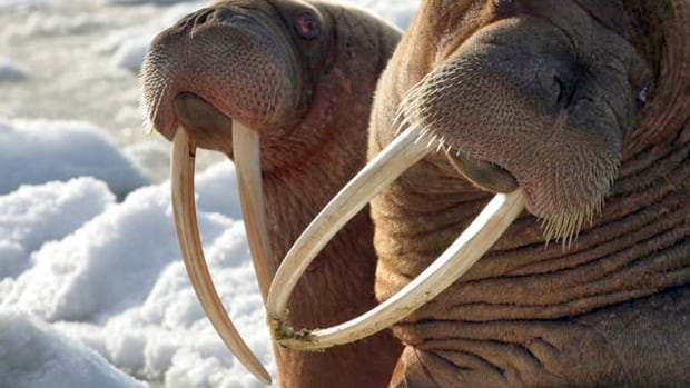 Trump policy improperly denied protection to walruses, U.S. court rules