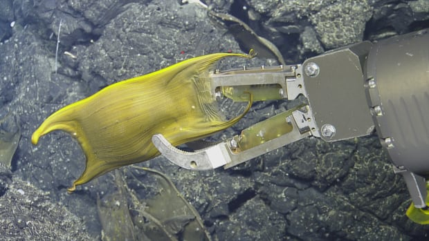 Deep-Sea Creature Uses Hydrothermal Vents As A Nursery